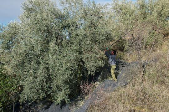 Hand harvestin an olive tree