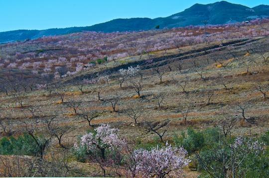 Almond grove in blossom