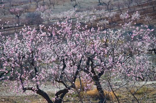 Almond blossoms, Murcia