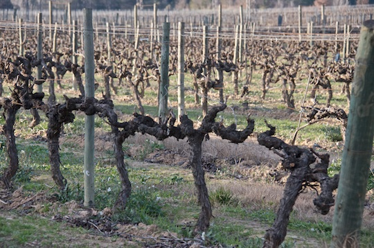 Codorniu vineyard