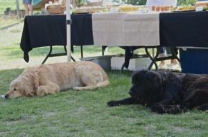 The farm's beautiful dogs