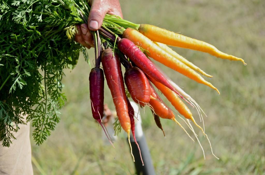 Just picked rainbow carrots