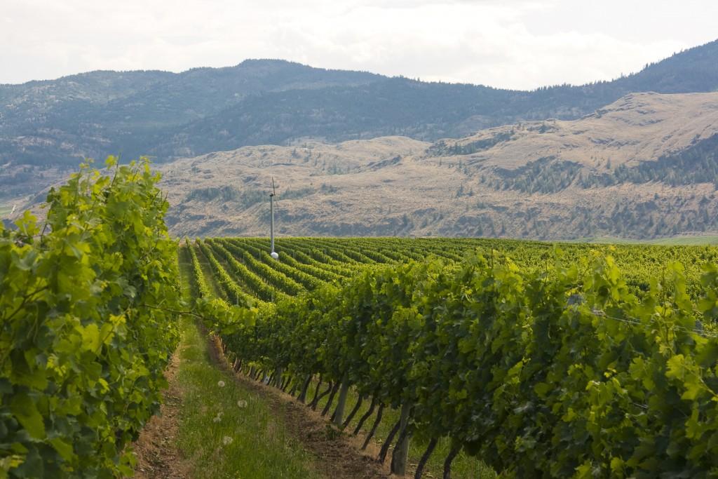 Tinhorn vineyards