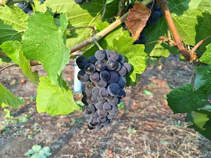 Pinot Noir grapes at Spierhead winery