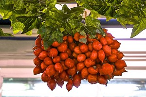 Piennolo tomatoes