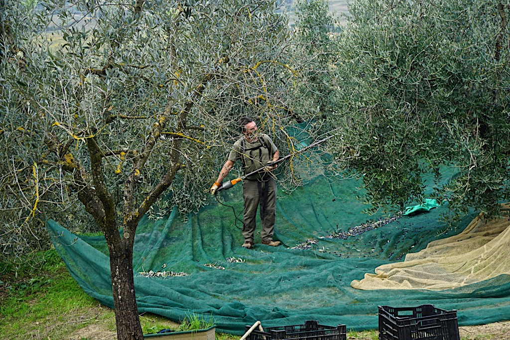 Olive harvest en route to San Gimignano