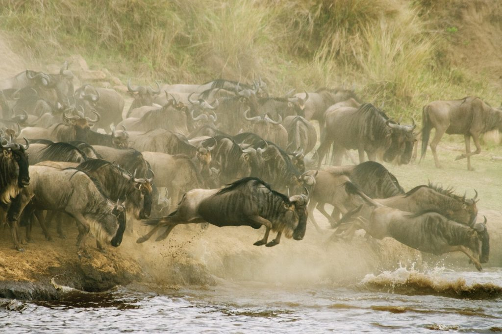 Wildebeest cross the Mara River in Kenya's Maasai Mara National Reserve. The Serengeti-Mara eco system is the last refuge for the world's greatest concentration of wildlife, and the annual migration remains the greatest show on earth..