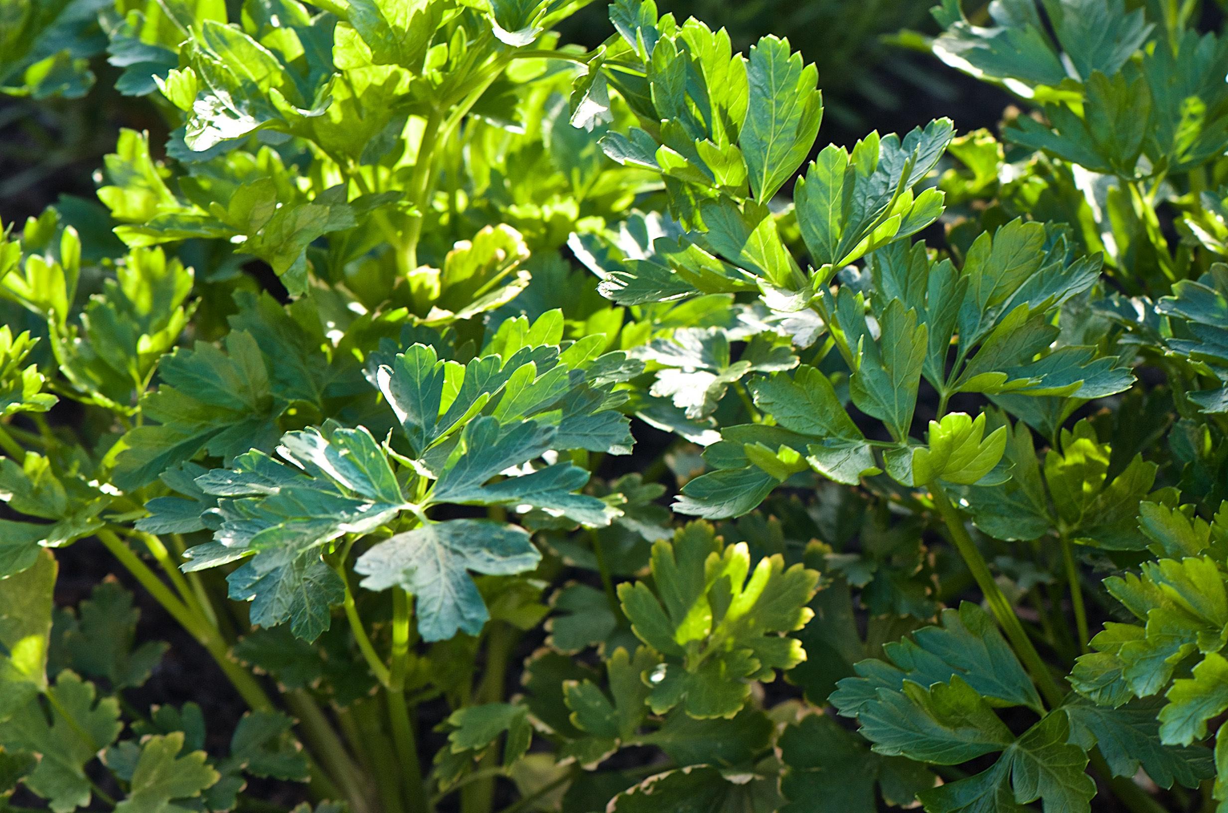 Flat leaf pasrsley