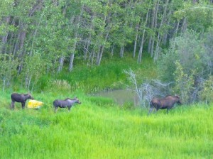 Moose near the pond
