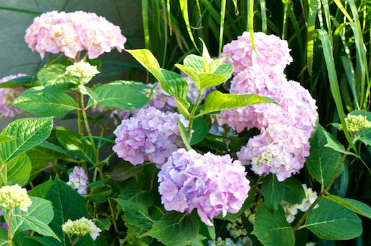 Hydrangeas in my rooftop garden
