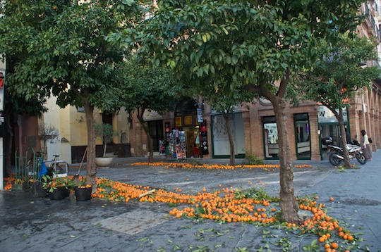 Clearing the orange trees on the streets of Sevilla