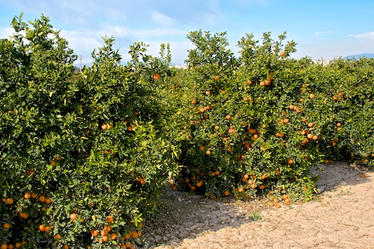 Orange groves in Valencia