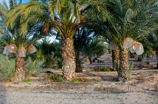 Date palms in Elche