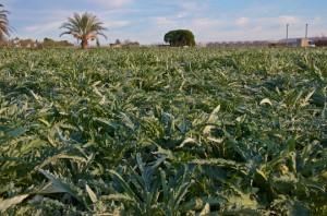 Valencia Artichoke field
