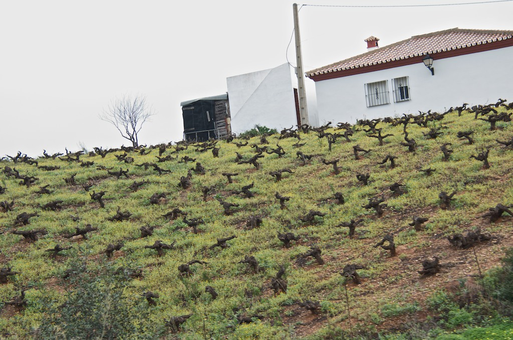 Vineyard near Jerez