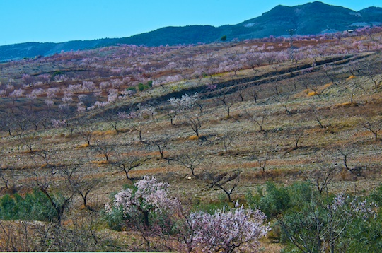 Almond grove in blossom