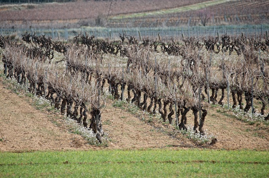 Vineyards in Penedes