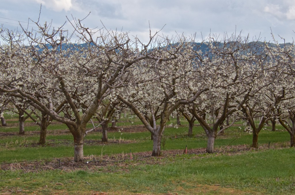 Okanagan orchard in bloom