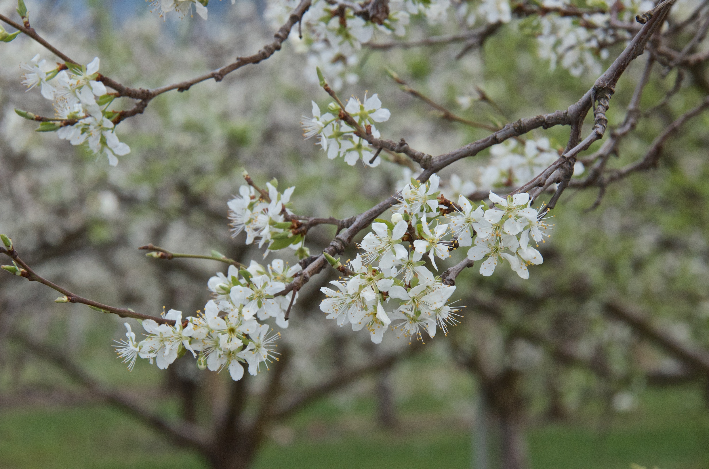 Flowering orchard in the Okanagan
