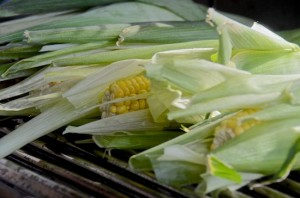 Corn cobs in the husks