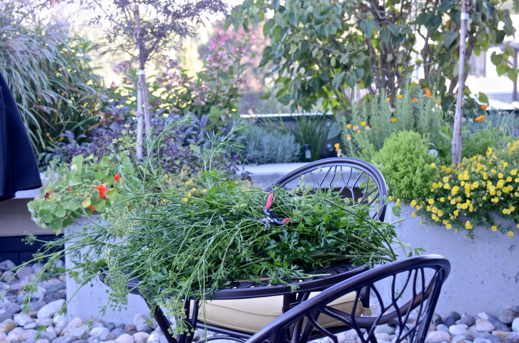 Harvest on the rooftop - parsley