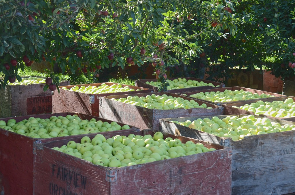 Apple harvest in Lake country