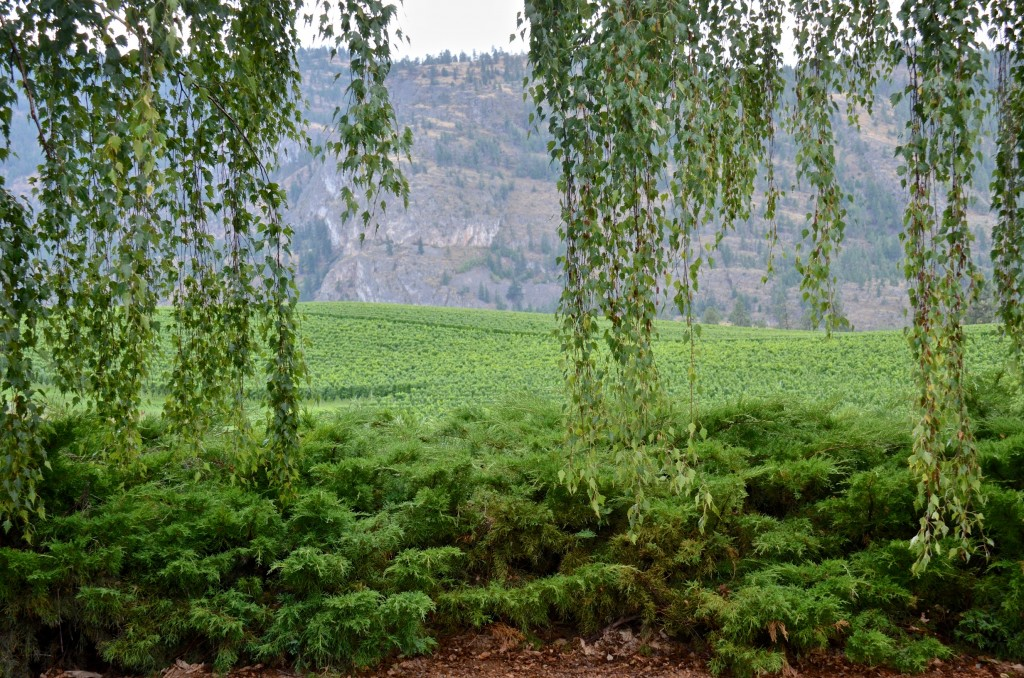 Okanagan vineyard (Blue Mountain)