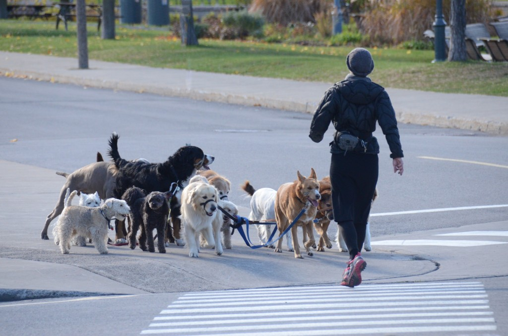 Doggie walker in Montreal