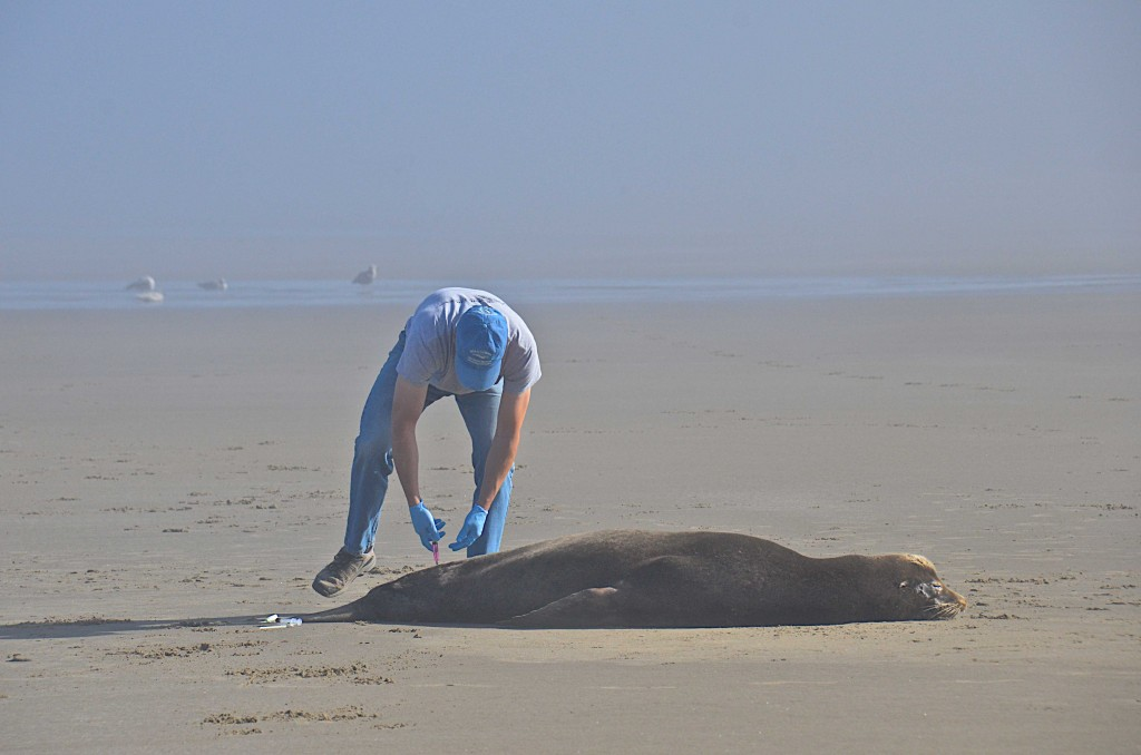 Vet attending to a sick seal on the beach, Newport, Oregon