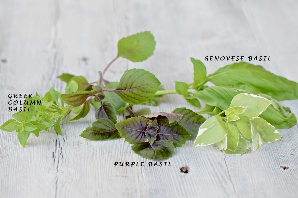 Summer basil varieties